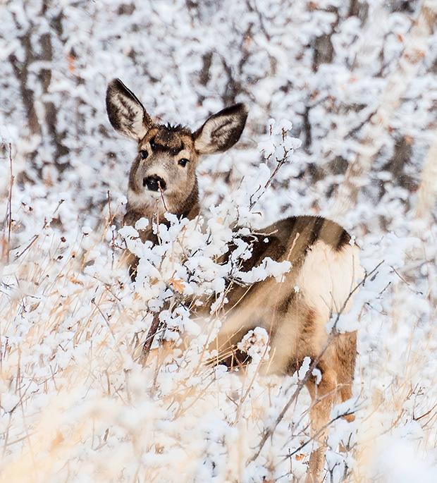 winterdeer01