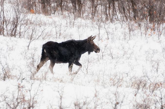 moose01