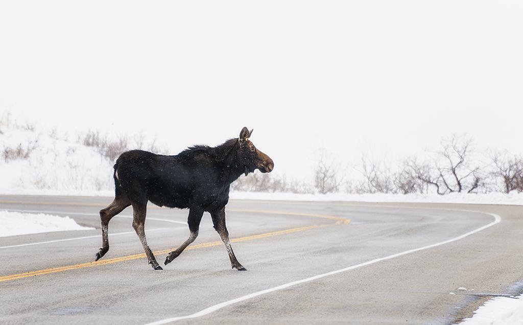 moose02